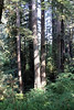 Jedediah Smith Redwoods State Park, east of Crescent City, California