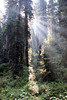 Jedediah Smith Redwoods State Park, east of Crescent City, California<br /> <br /> An inspiring sight in the stately forest.