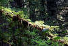 Mother Nature's nursery <br /> Jedediah Smith Redwoods State Park, east of Crescent City, California