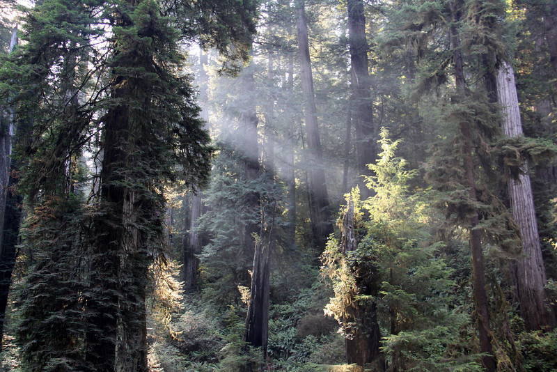 Jedediah Smith Redwoods State Park, east of Crescent City, California along Howland Hill Road the rays of sun through the old growth forest were inspiring.