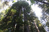 Pillars to the sky <br /> Jedediah Smith Redwoods State Park, east of Crescent City, California