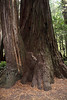 Stout Grove, Jedediah Smith Redwoods State Park, east of Crescent City, California<br /> <br /> It is hard to tell where one stops and the other begins.  Is one the mother and one the child?