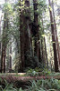 Stout Grove Jedediah Smith Redwoods State Park, east of Crescent City, California