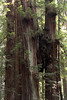 How tall will they grow?  Stout Grove Jedediah Smith Redwoods State Park, east of Crescent City, California<br /> <br /> An interesting burl? conjoining the trees.