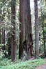 Jedediah Smith Redwoods State Park, east of Crescent City, California<br /> <br /> Evidence of fire or lightning damage.