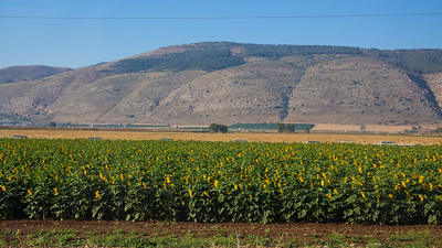 sumflower field