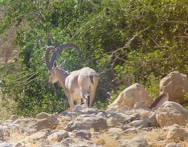 Ibex a native in Israel