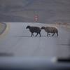 Jordan Sheep Crossing
