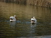 White Pelicans at Saint James's Park