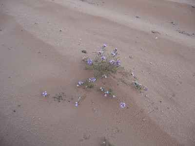 Little flowers that were growing in the desert.  In some places there were so many that they formed a carpet of purple.  Quite unexpected in such dry conditions.