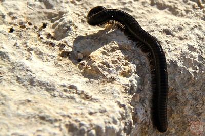 millipede, Jerash, Jordan