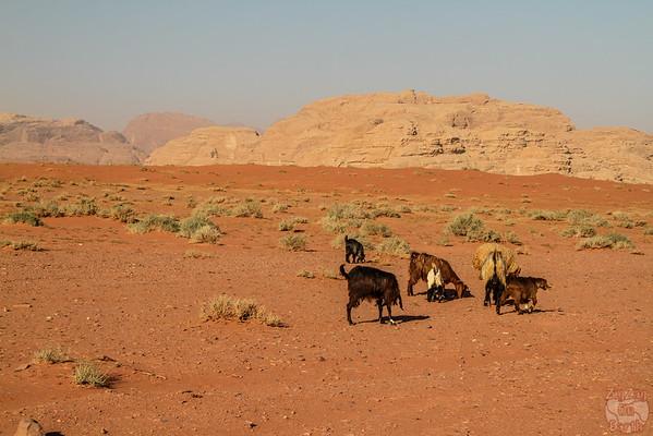 Wadi Rum, Jordan: bedouin goats