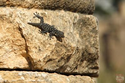lezard, Jerash, Jordan 2