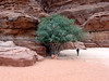 Wadi rum; another of my favorites from this trip; love the fullness of the tree in such an arid environment....