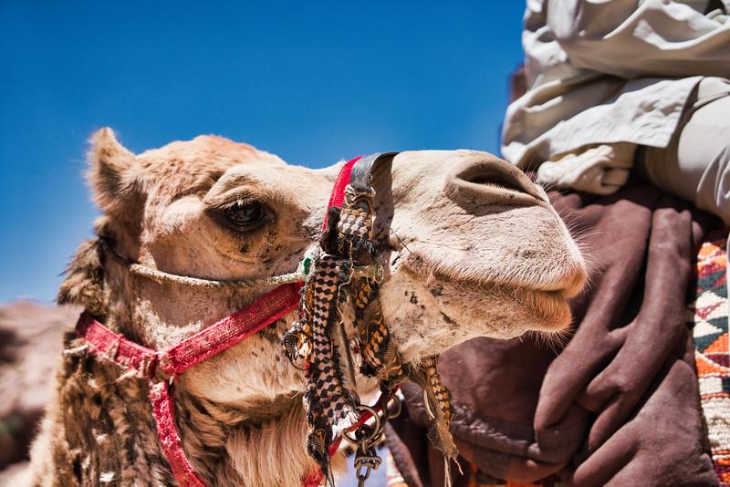 Camel Head Shot