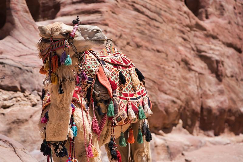 Camel Dressed for Action