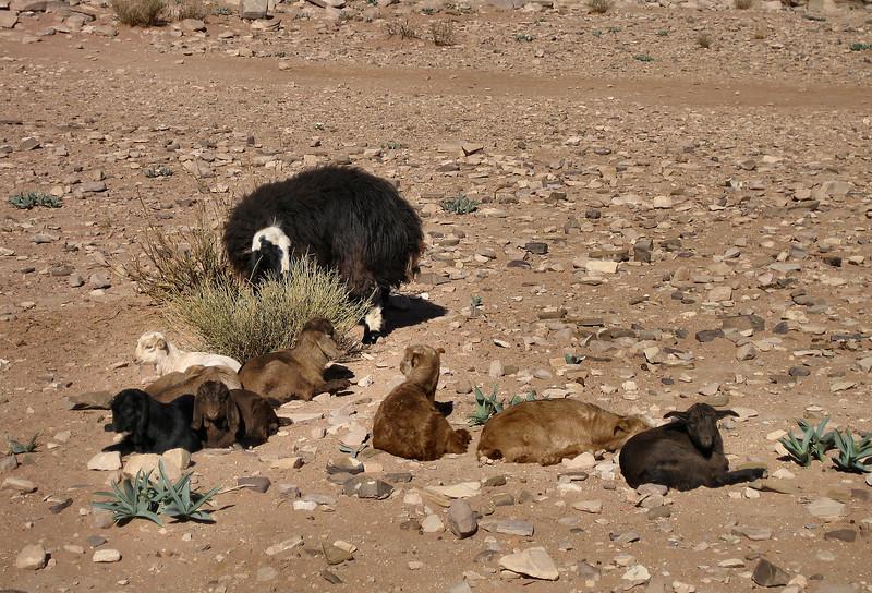 Lambs, Petra