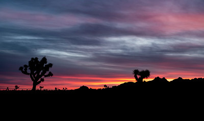 Just before sunrise...34 degrees...silhouetted joshua trees