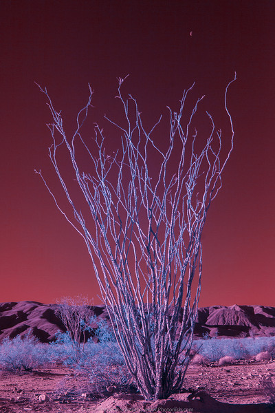 Joshua Tree -- IR 5D II