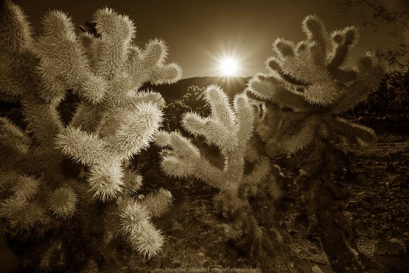 Cholla Cactus at Joshua Tree National Park.