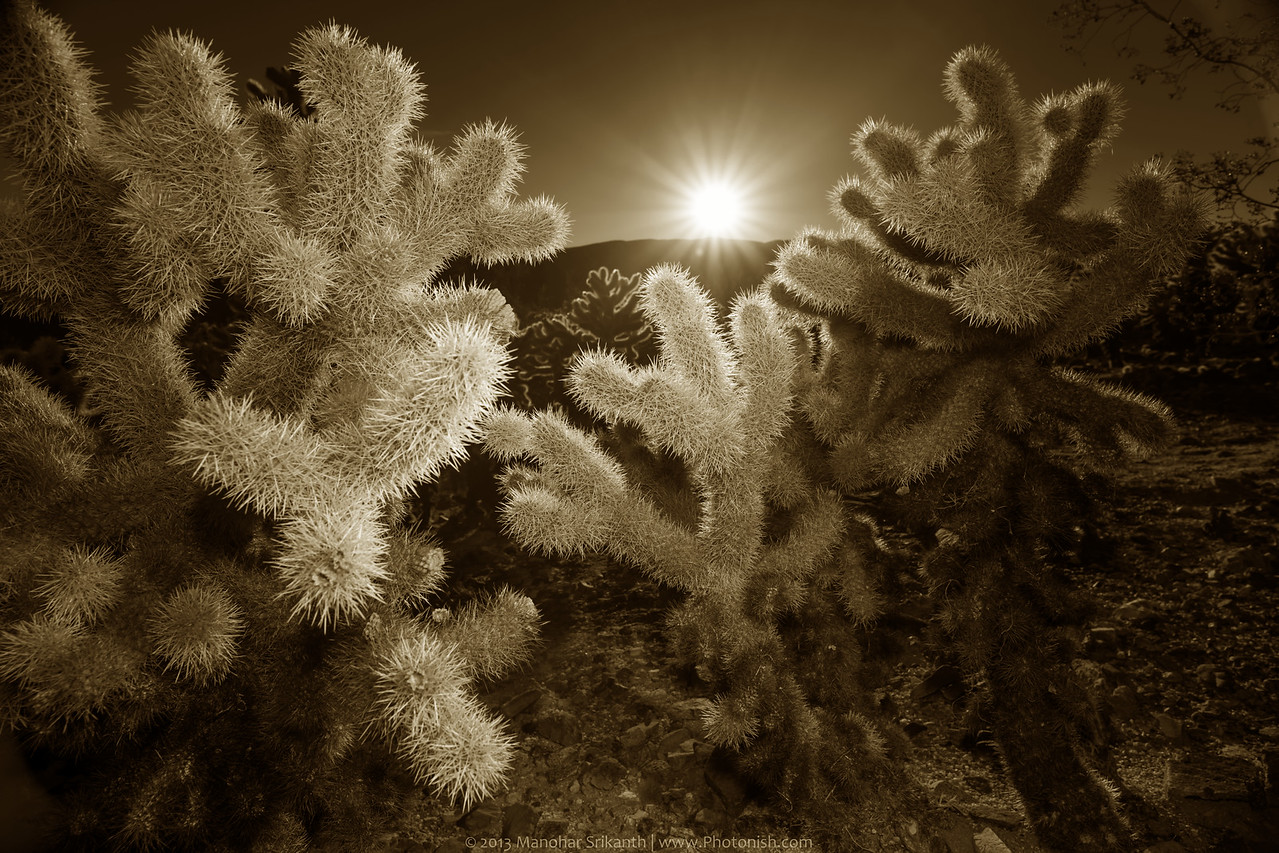 Cholla Cactus at Joshua Tree National Park.
