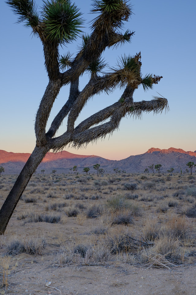 Joshua Tree shortly after sunrise
