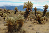 Teddy Bear Cholla in Cholla Cactus Garden - Colorado Desert Region.