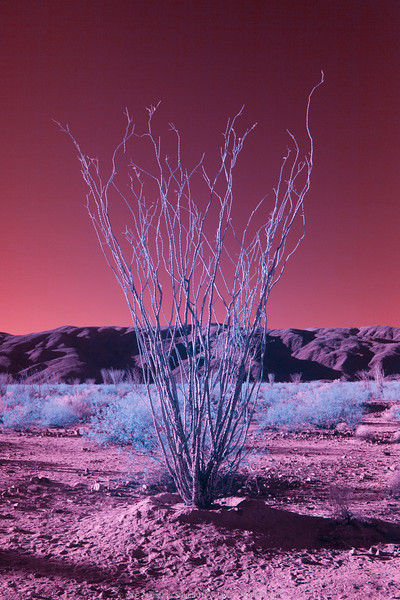 Joshua Tree -- Near IR Image.