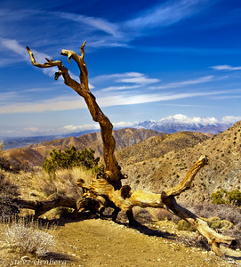 Dead Joshua Tree at Keys View