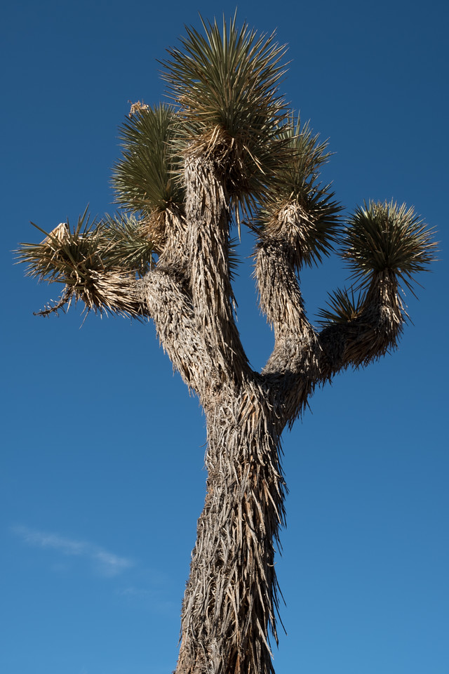 Joshua Tree standing mighty & tall