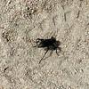 Cactus Longhorn Beetle (Moneilema armatum)