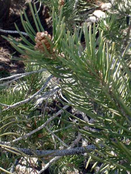 Single-leaf Pinyon Pine (Pinus monophylla)