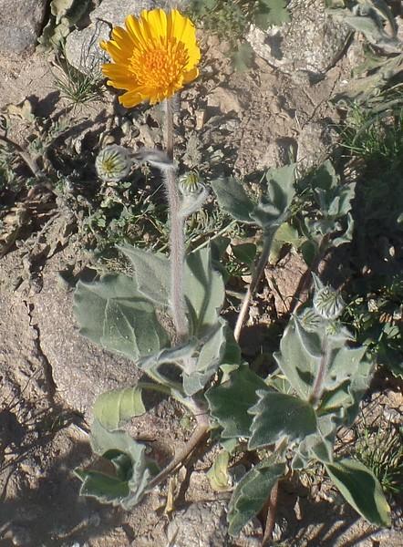 Hairy Desert Sunflower (Geraea canescens)