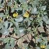 Thick-leaf Groundcherry (Physalis crassifolia)