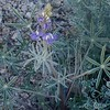 Coulter's Lupine (Lupinus sparsiflorus)