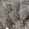 Engelmann's Hedgehog Cactus (Echinocereus engelmannii)