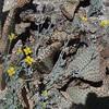 Pygmy Poppy (Eschscholzia minutiflora)
