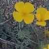 Desert Poppy (Eschscholzia glyptosperma)