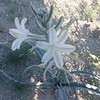 Desert Lily (Hesperocallis undulata)