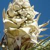 Joshua Tree (Yucca brevifolia)