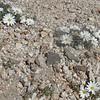 Daisy Desertstar (Monoptilon bellidiforme)