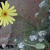 Smooth Desert Dandelion (Malacothrix glabrata)