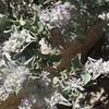 Desert Lavender (Condea emoryi)