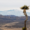 Joshua Tree on Ryan Mountain with Mount San Jacinto in the background.