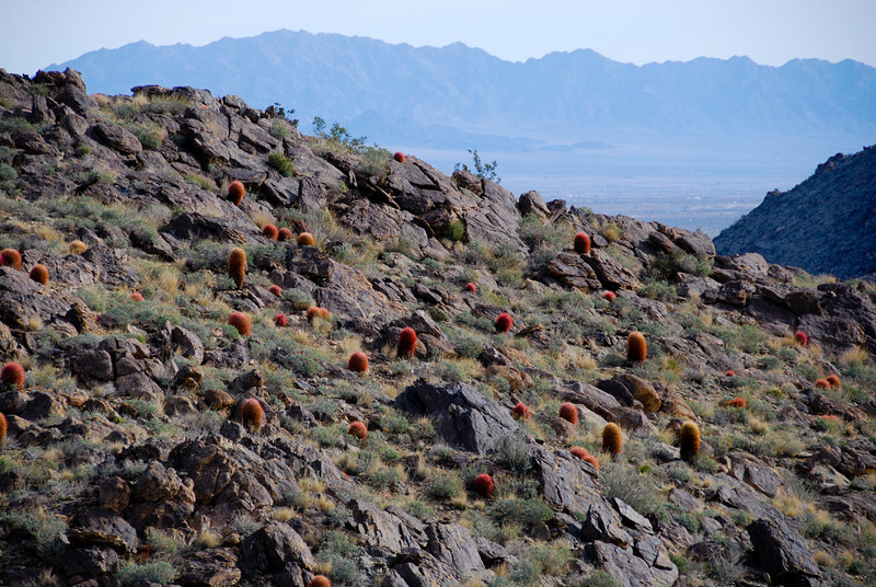Red Barrel Cacti on the trail to 49 Palms Oasis