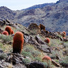 Red Barrel Cacti on the 49 Palms Oasis trail