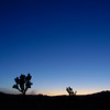 Joshua trees and Venus at dusk