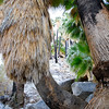 Curved Fan Palm at the 49 Palms Oasis