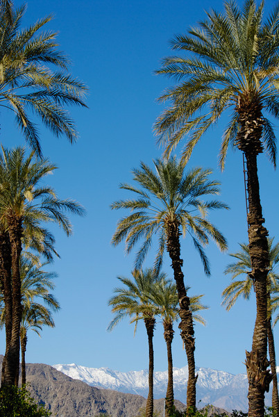 Date palms at Shields Date Garden in Indio. We stopped here for all of our date needs, which included a pound of honey dates and a date milkshake. Highly recommended pit stop if you're driving through!