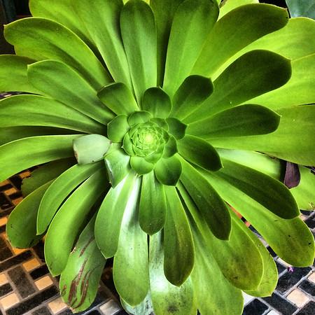 Succulent in Alameda